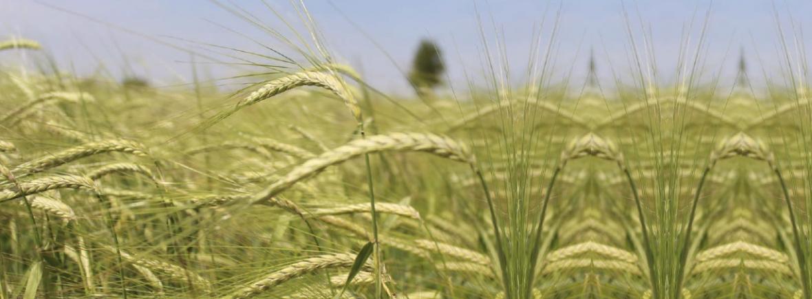 Kraffts Riedgerste Getreide