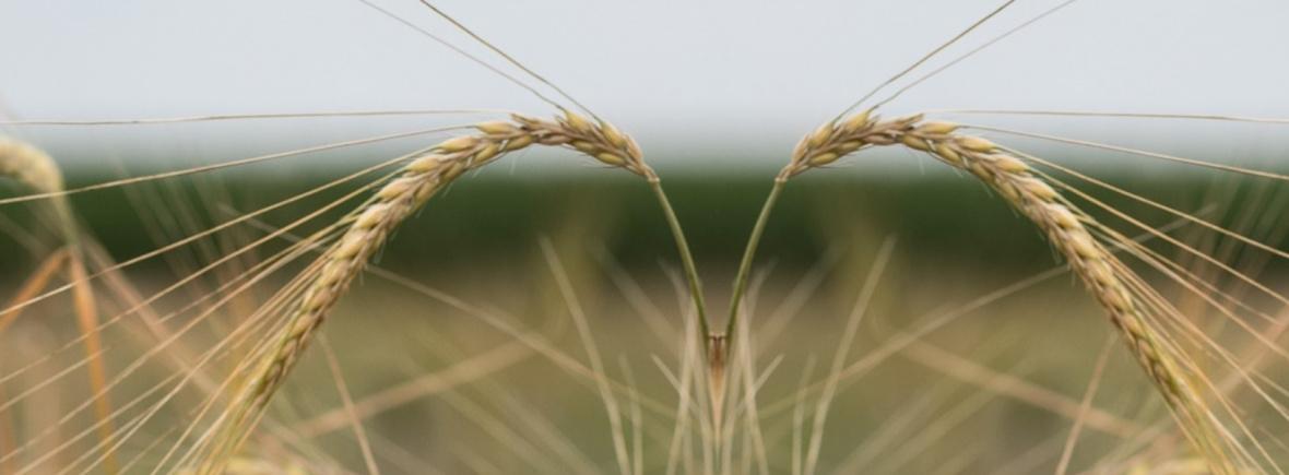 Getreide Mahndorfer Hanna